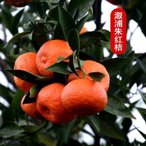 杨桥朱红桔