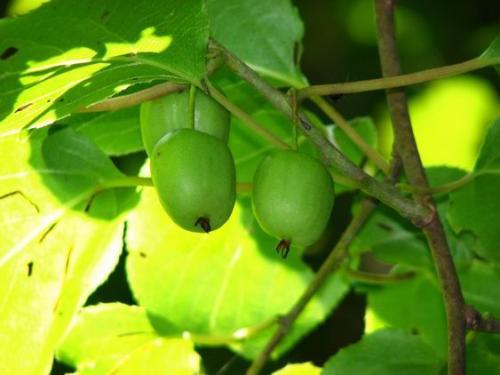 罗坪野生猕猴桃