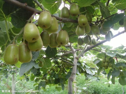 双牌猕猴桃