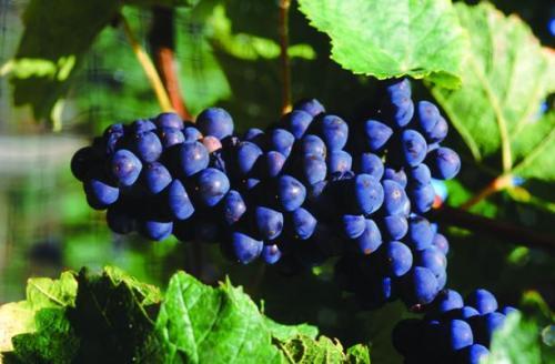 丹巴酿酒葡萄