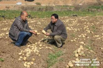 宁南冬季马铃薯
