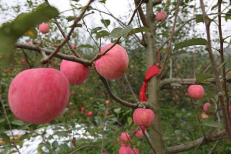 长顺高钙苹果