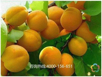 彭阳红梅杏