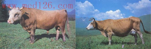 阿勒泰白头牛