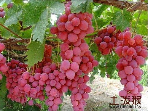 霍城红地球葡萄