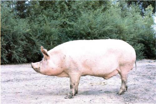 哈尔滨白猪