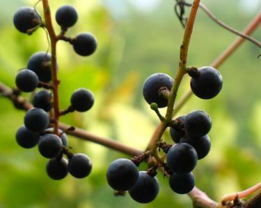 南岔山葡萄