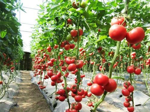 东海西红柿