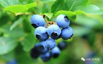 六步山蓝莓