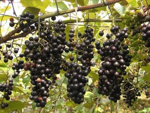 都安山葡萄