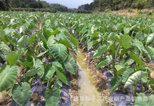 藤县和平香芋