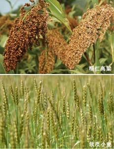 泸州软质小麦