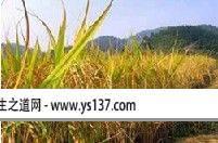 天府天保稻米